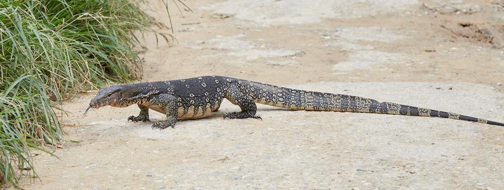 Railay Beach Lizard